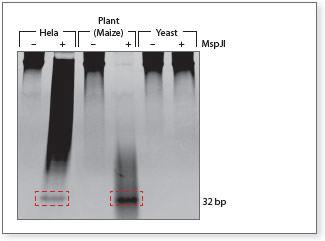 Methylation sensitive enzymes Gel
